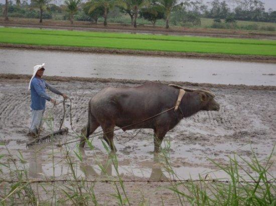 Plowing - Rice fields