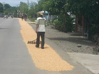 Raking out the corn & rice to dry, then later it will be gathered up and taken to be milled...