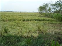 The rice crop is destroyed which has been the biggest toll for the people of the Philippines Cauayan Mission Area
